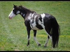 Lethal Gunsmoke - Roan Spotted Saddle Gelding Horse Saddles, Ponies, Pretty, Painting, Animals, Beautiful, Saddles, Animales, Animaux