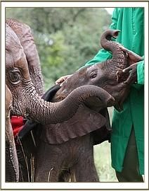 The nursery keepers at the David Sheldrick Foundation are terrific!