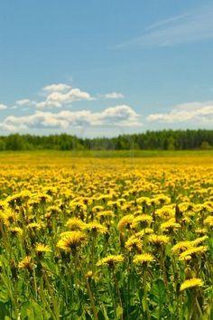 dandilion field. My very favorite kind of yellow field