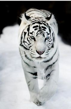 white tiger <3 www.savetigersnow.org www.tigertime.info/the-crisis www.savewildtigers.org www.panthera.org/node/1399