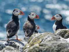 Puffins on the Isle of May. Firth of Forth, Scotland.