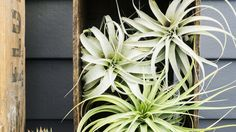 Pile-up | Not confined to a container with potting soil, air plants lend themselves to creative arrangements indoors and even out