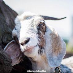 Hagamos del mundo un lugar más justo para los animales.  El mundo entero está comenzando a conocer los horrores de la industria de la explotación animal a través del trabajo de investigadores encubiertos y organizaciones que defienden a los animales. Sin embargo aún muchos desconocen el otro lado: lo maravillosos que son los animales de granja cuando viven en un ambiente de libertad y respeto. La cara de Agustín lo dice todo: Cambiamos el miedo por la alegría la esclavitud por la libertad y…