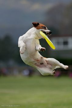 Jump dog !frisbee wings