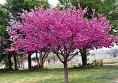 Red bud, Spring flowering trees are a species that create an impressive display. This flowering tree grows typically tall, and a spreads for a mature plant. Cercis canadensis starts flowering as early as four years old. Rising Sun Redbud, Eastern Redbud Tree, Le Far West, Plantar, Growing Tree, Small Trees, Trees And Shrubs, Live Plants, Drought Tolerant