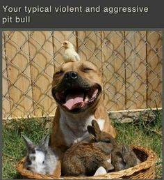 Dangerous pit bull!
