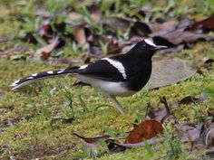 Bornean forktail - The forktails are small insectivorous birds in the genus Enicurus. They were formerly in the thrush family Turdidae, but are more often now treated as part of the Old World flycatcher family Muscicapidae.