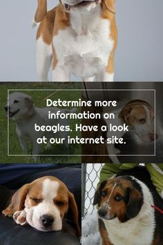 Determine more information on beagles. Have a look at our internet site. More Information, Adoptable Beagle, Beagles, Internet, Dogs, Animals, Animales, Animaux, Pet Dogs
