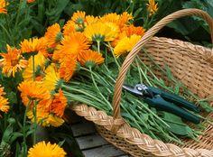 Les fleurs comestibles du jardin - Les soucis