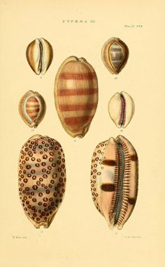 Cypraea n20_w1150 by BioDivLibrary, conchological illustrations