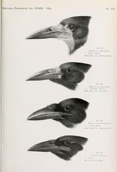 Novitates Zoologicae, Vol 33, 1926.