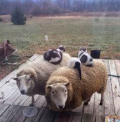 """""""I recently bought comfy beds for my cats, but they still prefer to sleep on my sheep."""" Do the cats stay sitting on the sheep when they move? Funny Animal Pictures, Cute Funny Animals, Cute Cats, Funny Cats, Animal Pics, Animals And Pets, Baby Animals, Fluffy Animals, Image Chat"""