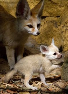 A mother and a baby Fennec fox.