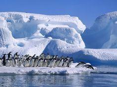 Gli Sfeniscidi sono una famiglia di uccelli comunemente noti come pinguini.