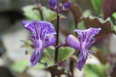 Flor de la espuela