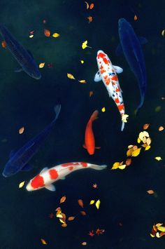 Japanese carps, Koi 鯉