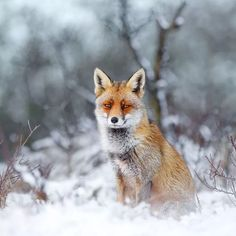 Red Foxes in Snow Photos by Roeselien Raimond Fox In Snow, Red Fox, Winter Snow, Otters, In A Heartbeat, Animal Photography, Animal Kingdom, Cute Animals, Wild Animals
