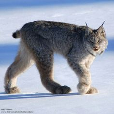 SHOES MADE FOR WALKING  Unusually large paws with furry pads -- snow shoes -- allow the lynx to walk on the snow's surface. Canadian lynx near Whitehorse, Yukon, by Keith Williams.  via Fans de Waal - Public Page FB