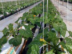 Coltivazioni fuori suolo in perlite e cocco, una valida alternativa per l'orticoltura - Soilless cultivation in perlite and coco substrates - great alternative to traditional horticulture