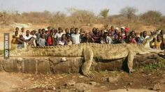 Massive crocodile that was caught on the border between Zimbabwe and Moçambique.
