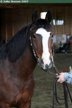 Estonian Native gelding Romeo