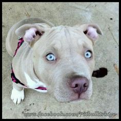 the American Pitbull Terrier....how can you say that face is MEAN?????