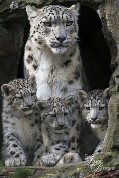 Un Léopard des Neiges et ses Petits