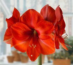 Amarilis Vermelho Claro