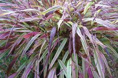 Klehm's Song Sparrow Farm and Nursery--Shade Perennials--Hakonechloa macra 'Naomi' PP19,897