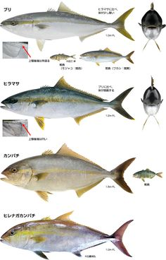 第1回 ブリ~世界で日本近海にしかいない魚~ | 小学館のWEB図鑑Z | 小学館 BOOK PEOPLE Japanese Diet, Japanese Culture, Cofee Shop, Fish Camp, Sashimi, Fish Recipes, Infographic, Knowledge, Cooking