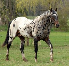 Reverse Leopard Appaloosa   Horses: Out for a stroll.