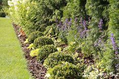 kocimiętka pod tujami - strona 166 - Forum ogrodnicze - Ogrodowisko