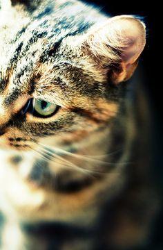 tabby cat/キジトラ。