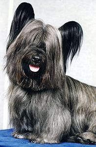 Skye Terrier: Almost extinct in the UK, this dog is rare in the US.  The breed is ranked 166 out of 175 dog breeds recognized by the AKC.