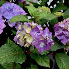 Trend Pflanzen aus dem Internetshop u Hortensie u Franks kleiner Garten