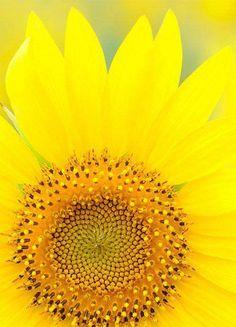 zonnebloem