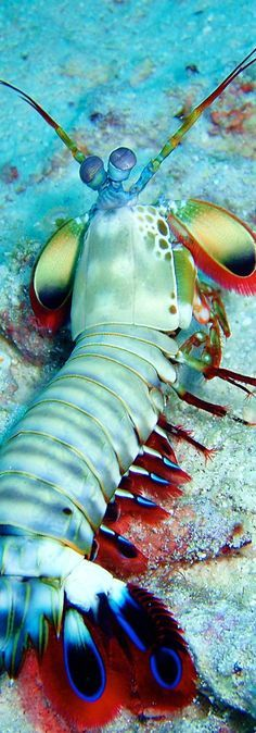Sea life - Mantis Shrimp - A predatory marine crustacean with a pair of large spined front legs that resemble those of a mantis and are used for capturing prey.