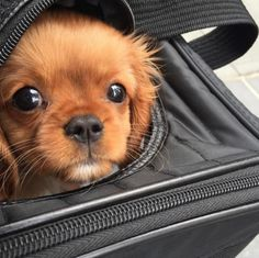 Unless you've been living under the biggest, most clueless rock EVER, you're well aware that the Cavalier King Charles Spaniel is in fact the most snuggly-faced love nugget breed of all time. Here's a list to prove it. 1. They only judge you when you truly deserve it.