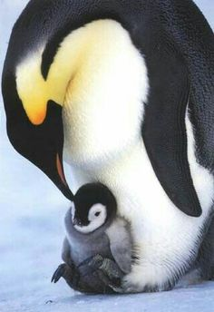 Emperor Penguins Yes! Penguin Love, Cute Penguins, Penguin Baby, Penguin Craft, Mundo Animal, My Animal, Cute Baby Animals, Animals And Pets, Beautiful Birds
