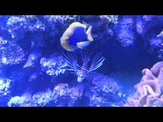Lionfish in a very large reef tank