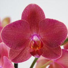 orchidee phalaenopsis springtime vlinderorchidee. Black Bedroom Furniture Sets. Home Design Ideas
