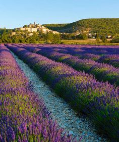 Lavender Fields, France | If the fragrant flowers don't lure you in, the sea of purple will. Just imagining yourself completely surrounded in a delicious purple cloud is enough to bring your blood pressure down a few points.