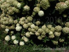 View picture of Panicle Hydrangea, Tree Hydrangea 'Limelight' (Hydrangea paniculata) at Dave's Garden.  All pictures are contributed by our community.
