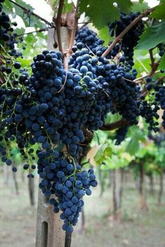 There are 20 million acres of grapes planted worldwide. This makes wine grapes, the single most widely planted fruit crop in the world. Fruit And Veg, Fruits And Vegetables, Fresh Fruit, Veggies, Photo Fruit, Grape Plant, Wine Vineyards, Organic Wine, Vides