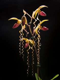 Paphiopedilum-Chiu-Hua-Dancer - See it at The Orchid Show www.chicagobotani...