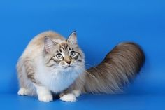 Attention: Long-haired Cat Breeds