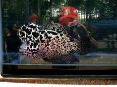 Flowerhorn Tropical Fish Aquarium, Freshwater Aquarium Fish, Planted Aquarium, Parrot Fish, Betta Fish, Pez Flower, Oscar Fish, Fishing World, Fish Tales