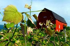 View of vines and rustic barn in Ontario County, NY