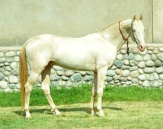 Akhal Teke, Miras - Farm stud DACOR