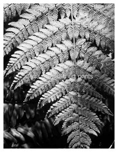 Lady Fern Black and White Silver Metallic by SierraMtnArtPrints